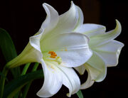 2 White Lilies