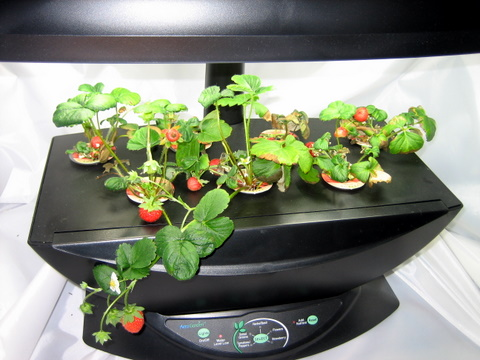 Strawberry Aerogarden Gardeners Wiki Fandom powered by Wikia