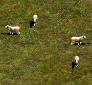 Aoe2 sheep