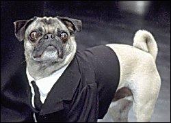 Frank the Pug
