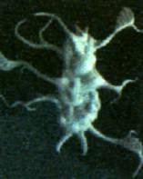 File:Interphasic organism.jpg