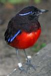 Pitta venusta-20030928