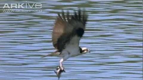Osprey -- the ultimate fisher