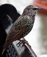 Common starling in london