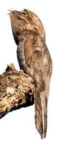 Common Potoo on stump