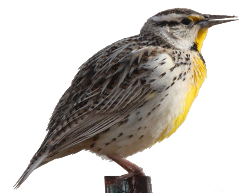 Western meadowlark videos photos and facts  Sturnella