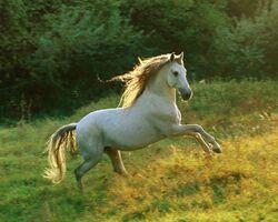 Andalusian horses (10)