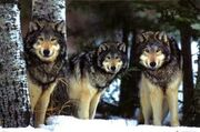 Pack wolves