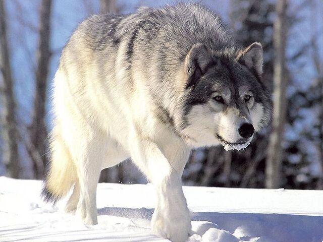 File:800px-Canis lupus 265b.jpg