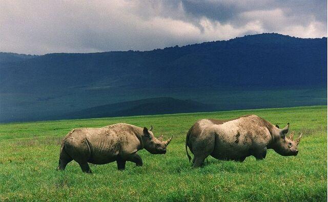 File:800px-Black rhinos in crater.jpg