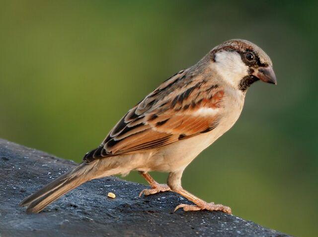 File:House Sparrow (M) I IMG 7881.jpg