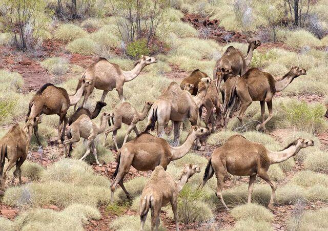 File:Camels.jpg