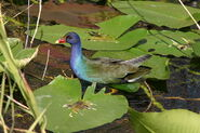 800px-American Purple Gallinule in water