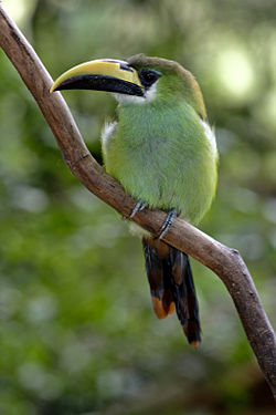 File:Emerald Toucanet.jpg