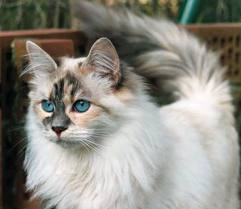 File:Siberian cat.jpg