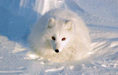 File:Arctic-fox-winter-ngk1108-ca01 14251 600x450.jpg