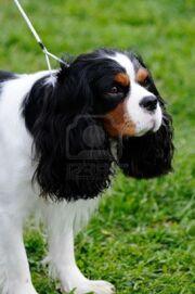 3269579-beautiful-cavalier-king-charles-spaniel-dog-posing-at-a-dog-show