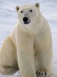 File:Download polar bear.jpg