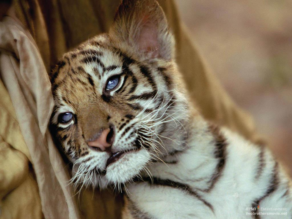 Baby tigers face - photo#14