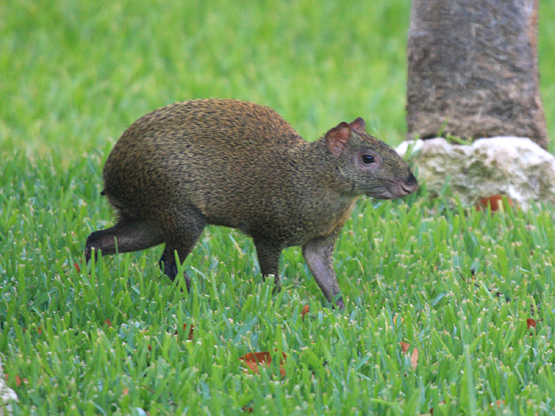 Mexico Mammals during FONT Tours