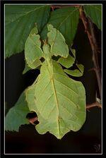 220px-Phyllium bilobatum, male larva