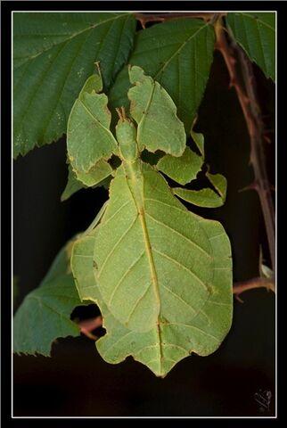 File:220px-Phyllium bilobatum, male larva.jpg
