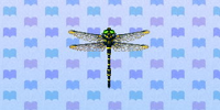 Banded dragonfly