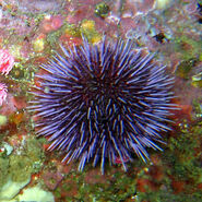 Real Sea Urchin