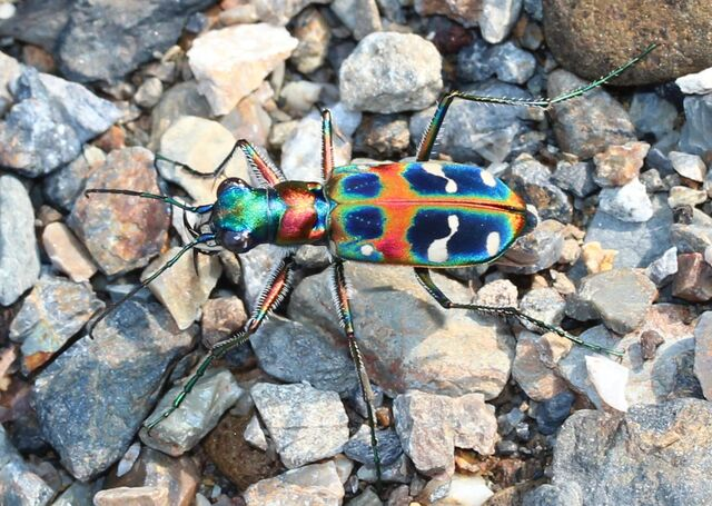 File:Tiger beetle.jpg