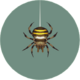 Spider (City Folk)