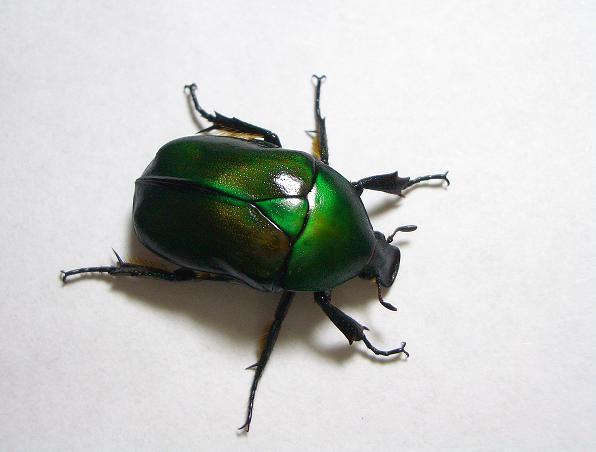 File:Drone beetle r japonica.jpg