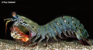 File:Mantis shrimp.jpg