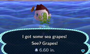 HNI 0081 sea grapes