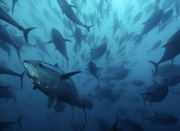 File:Caged-bluefin-tuna-1055393-xl.jpg