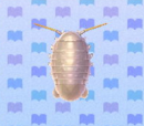 Giant isopod