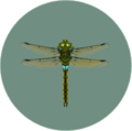Darner Dragonfly (City Folk)