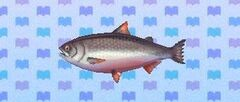 King salmon encyclopedia (New Leaf)