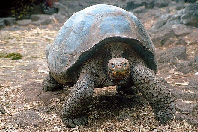 Tartaruga delle galapagos animali wiki fandom powered - Pagine di colorazione tartaruga ...