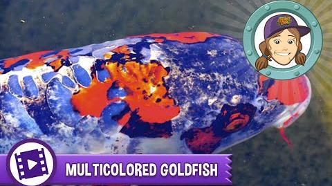 Ask Tierney - Can goldfish be any other color than gold?