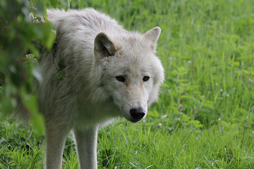 File:Artic Wolf 0818.jpg