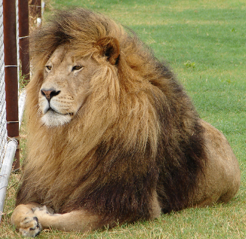 barbary lion animal database fandom powered by wikia