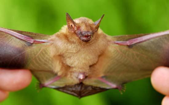 Rhogeessa Animal Database Fandom Powered By Wikia