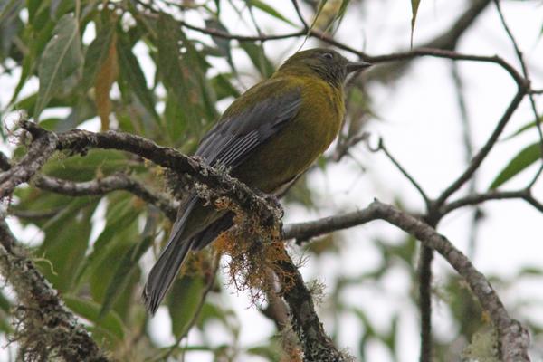 Winged Cotinga Grey-winged Cotinga