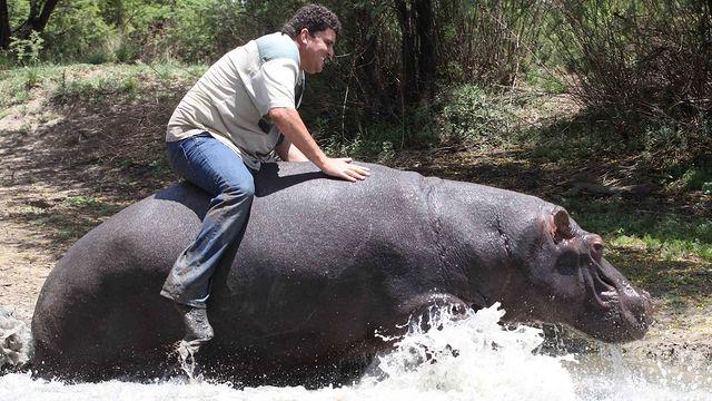 XXXL Fierce Bull Hippo wall mount for sale!