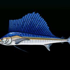 Sailfish - Rarity: Very Rare, Size: Large