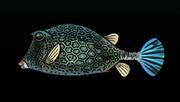 HoneycombCowfishACP