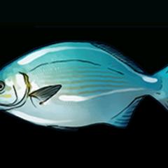 Bermuda Chub - Rarity: Common, Size: Small