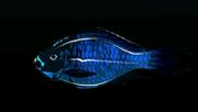 MidnightParrotfishACP