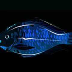 Midnight Parrotfish - Rarity: Very Rare, Size: Small
