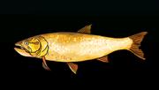 GoldenGoradoACP